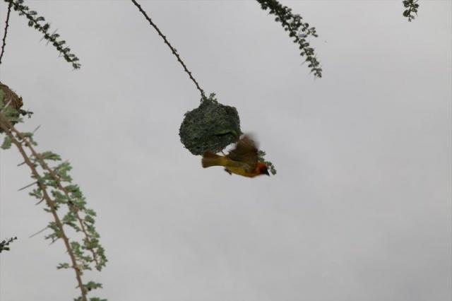 Fotoğraflar: Anadolu Ajansı  Afrika, Hindistan ve Avustralya'da görülen dokumacı kuşlar, kendilerine özgü yuva yapma teknikleriyle dikkati çekiyor.