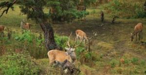 Sayıları çoğalan kızıl geyikler doğaya salındı