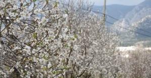 Datça'da Badem Çiçeği Festivali başladı