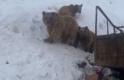 Boz ayılar kış uykusuna yatmadı