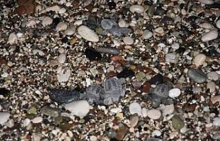 Caretta yavruları denizle buluştu