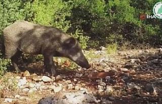 DKMP fotokapana takılan yabani hayvanların görüntüsünü...