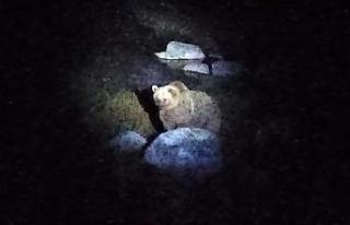 Nemrut Krater Gölü'nün müdavim ayıları yeniden...