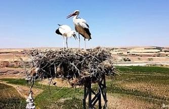 Dronu gören leylek çifti yumurtayı sakladı