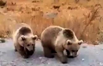 Nemrut ziyaretçilerine kardeş boz ayılardan karşılama