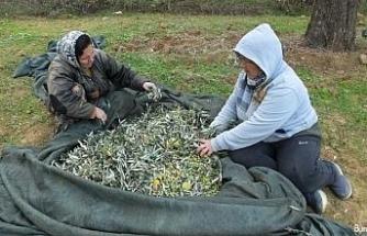 Zeytin hasadı on binlerce vatandaşı iş sahibi yaptı