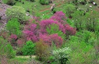 Çiçek açan erguvan ağaçları görenleri hayran bırakıyor