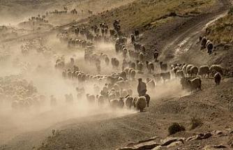 Sürülerin kavurucu sıcakta tozlu yolculuğu devam ediyor