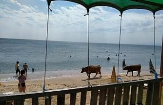 Plajda gezen inekler gülümsetti