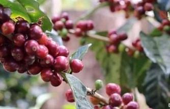 Panama'nın Geisha kahvesi elektronik müzayedede rekor fiyata satıldı