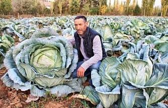 Kahramanmaraş'ta dev lahanalar görenleri şaşırtıyor