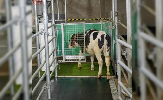 Sera gazı emisyonunu azaltmak için ineklere tuvalet eğitimi verildi