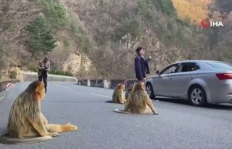 Altın maymunlar Çin'de yol kapattı