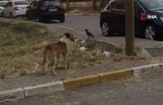 Kargayla köpeğin kavgası gülümsetti
