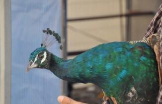 Maltepe'de tavus kuşu seferberliği