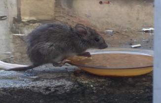 Su kabına dadanan fare görenleri şaşırttı