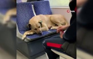 Tramvayda sevimli yolcu