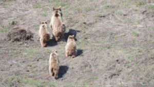Tunceli'de anne ve yavru ayılar görüntülendi