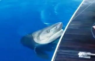 Turistleri taşıyan tur teknesinde köpek balığı heyecanı