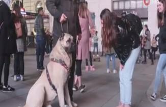 Türkiye'den getirilen çoban köpeği Londra'da büyük ilgi gördü