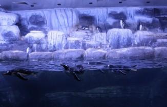 Türkiye'nin ilk bebek pengueni İstanbul Akvaryum'da dünyaya geldi