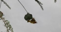 Dokumacı kuşlar mühendis gibi yuva yapıyor