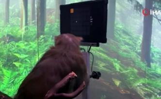 Neuralink'in beyin çipi maymun üzerinde denendi