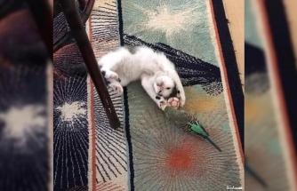 Yavru kedi ile muhabbet kuşunun dostluğu