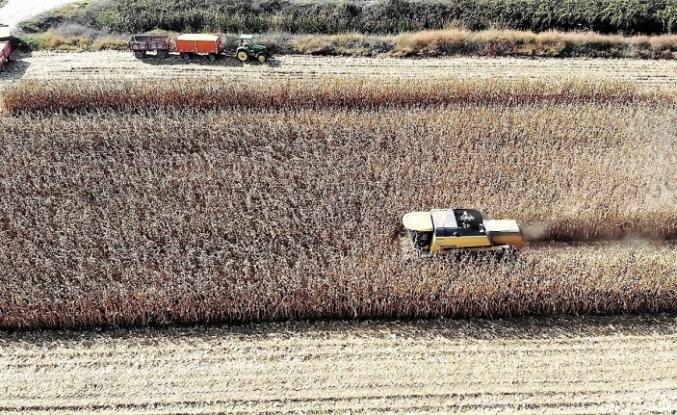 Dane mısır çiftçinin yüzünü güldürdü
