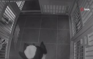 Japonya'da panda ikiz bebek dünyaya getirdi