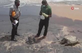 Sri Lanka'da gemi yangınının etkileri sürüyor: Ölü kaplumbağalar kıyıya vurdu